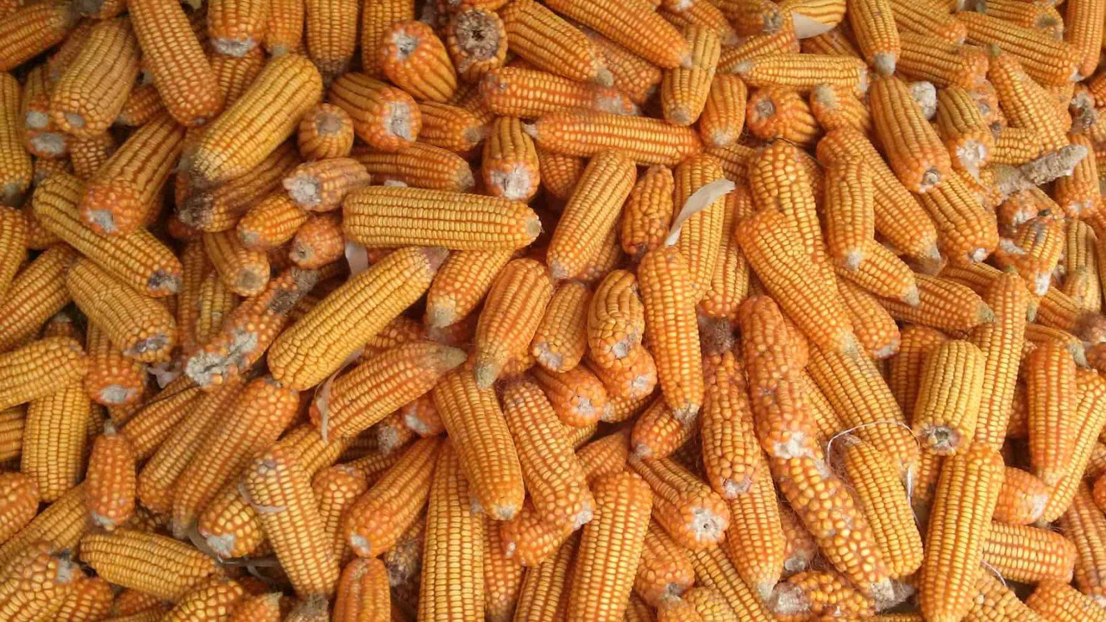 syngenta corn lawsuit settlement verdict